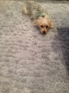 San_Jose-Dog-carpet-clean